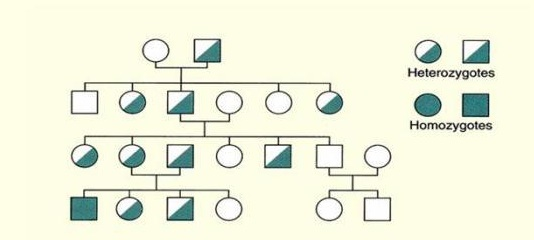 Dominant Inheritance - Genetics Generation